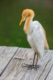 Bubulcus ibis standing on wood pier. With green background royalty free stock photo