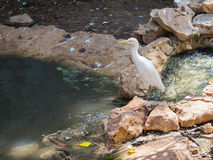Bubulcus ibis stands on the edge of pond. Bubulcus ibis stands on the edge of the pond Stock Image