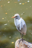 Bubulcus ibis stands on the edge of a pond stock image