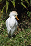 bubulcusnötkreaturegret ibis Arkivbilder