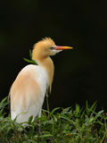 The Bubulus Ibis. Is looking around Stock Photo