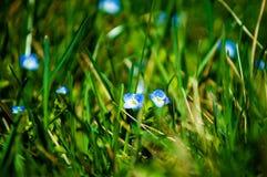 Bucaneve blu nel parco fotografia stock