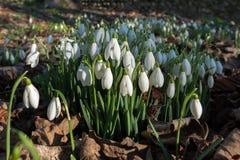 Bucaneve che fioriscono a gennaio fotografia stock