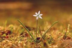 Bucaneve del fiore di Bluebell Immagini Stock Libere da Diritti
