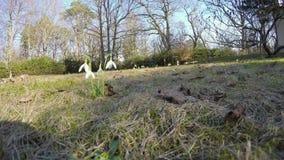 Bucaneve del fiore nel parco del prato inglese colpo grandangolare di 4K UHD video d archivio