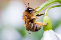 Bucaneve e ape Fotografia Stock