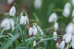 Bucaneve, Galanthus, in primavera Fotografie Stock Libere da Diritti