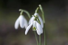Bucaneve nell'inverno, Cornovaglia, Regno Unito Immagine Stock