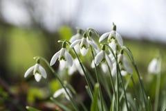 Bucaneve nell'inverno, Cornovaglia, Regno Unito Fotografia Stock