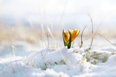 Bucaneve piacevole in valle dell'alta montagna con neve Immagine Stock Libera da Diritti