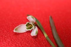 Bucaneve in primavera isolata su fondo rosso fotografie stock libere da diritti