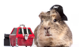 Buccaneer treasure. Funny guinea pig portrait over white background royalty free stock photos