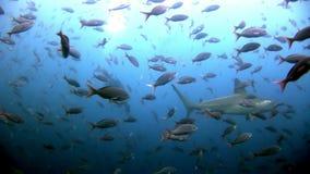 Buceador cercano despredador del martillo del tiburón de Hammerhead subacuático en el fondo del mar almacen de metraje de vídeo