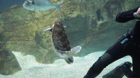 Buceador con los pescados y la tortuga en un acuario almacen de video