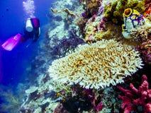 Buceador en los corales Imágenes de archivo libres de regalías