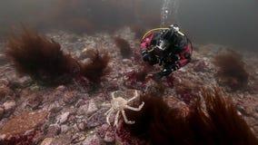 Buceador que juega con los cangrejos de rey bajo el agua en el fondo del mar de Kamchatka metrajes