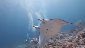 Buceador que ve nadada del rayo de manta del filón en el arrecife de coral almacen de video