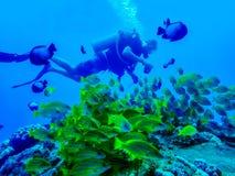 Buceador Swims Past School de pescados rayados amarillos fotografía de archivo