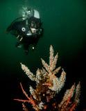 Buceador y coral en agua fría fotos de archivo