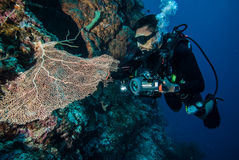 Buceador y fan de mar Gorgonia en Derawan, foto subacuática de Kalimantan, Indonesia imagenes de archivo