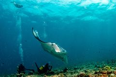 Buceador y Manta en el retrato azul del fondo del océano fotos de archivo