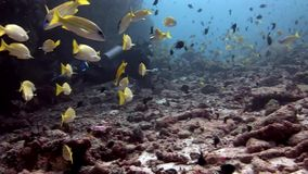 Buceador y submarino lucian amarillo brillante rayado de los pescados en el fondo del mar Maldivas almacen de video
