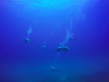 Buceadores que nadan sobre el arrecife de coral vivo por completo de pescados y de anémonas de mar Foto de archivo
