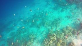 Buceando con un bajío de pescados de sargento Major, Maldivas, el Océano Índico almacen de video