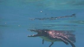 Buceando un cocodrilo americano en Cuba almacen de video