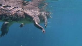 Buceando un cocodrilo americano en Cuba metrajes