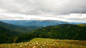 Sheep on the Bucegi mountain meadows. Stock Photos
