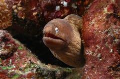 Buceo con escafandra de Aceh Indonesia de la anguila fotos de archivo libres de regalías