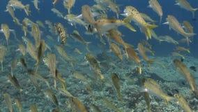 Buceo con escafandra del estrecho del lembeh de Indonesia subacuático almacen de video