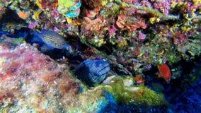 Buceo con escafandra en Majorca - anguila de Moray que abre su boca en un filón del colourfull almacen de metraje de vídeo