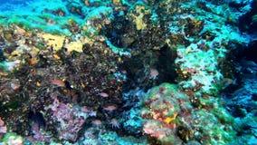 Buceo con escafandra profundo - los anthias rojos pescan 45 metros de profundidad metrajes