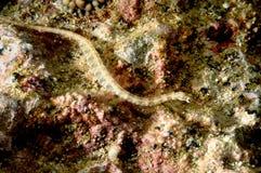 Buceo con escafandra raro de Aceh Indonesia de los pescados del dragón Imágenes de archivo libres de regalías