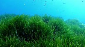 Buceo con escafandra sobre mismo un campo del posidonia del verde en el campo mediterráneo almacen de video