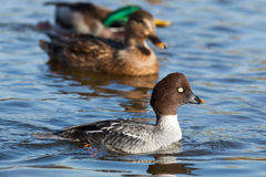 Bucephala clangula, Common Goldeneye. Stock Photos