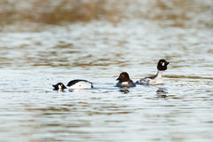Bucephala clangula, Common Goldeneye Royalty Free Stock Photography