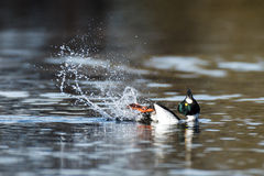 Bucephala clangula, Common Goldeneye Royalty Free Stock Images