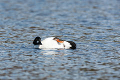 Bucephala clangula, Common Goldeneye Royalty Free Stock Photo