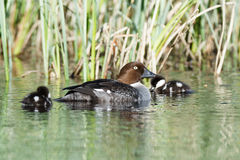 Bucephala clangula, Common Goldeneye Stock Images
