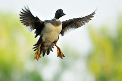 Bucephala femminile volante Fotografie Stock Libere da Diritti