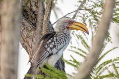 Bucero dal becco giallo del sud, uccello africano Fotografie Stock