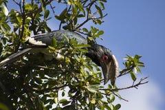 Bucero del trombettista nel suo habitat naturale Fotografia Stock