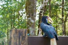 Bucero munito di casco nella foresta Immagine Stock Libera da Diritti