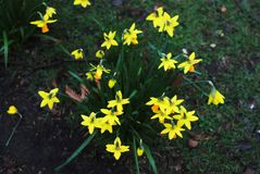 Buch των φρέσκων κίτρινων λουλουδιών Daffodils ή ναρκίσσων στο πάρκο Λουλούδι κήπων Στοκ Εικόνα