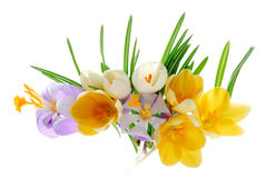 Buch of crocus  Royalty Free Stock Images