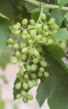 Buch of Developing Sultana Grapes. Royalty Free Stock Image