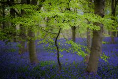 Buche und Glockenblumen, Ripley, North Yorkshire stockfotografie